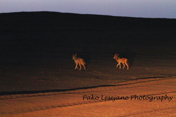 Namibia, Skeleton Coast, Namib Desert, Pako Lesejane Photography, Pako LesejaneJackals scavenging for food in Skeleton Coast. They usually hunt seals by ocean shore