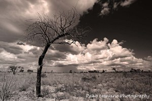 Photographed in Botswana, Central Kalahari game reserve